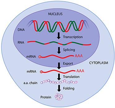 Protein Expression Western Blot Service